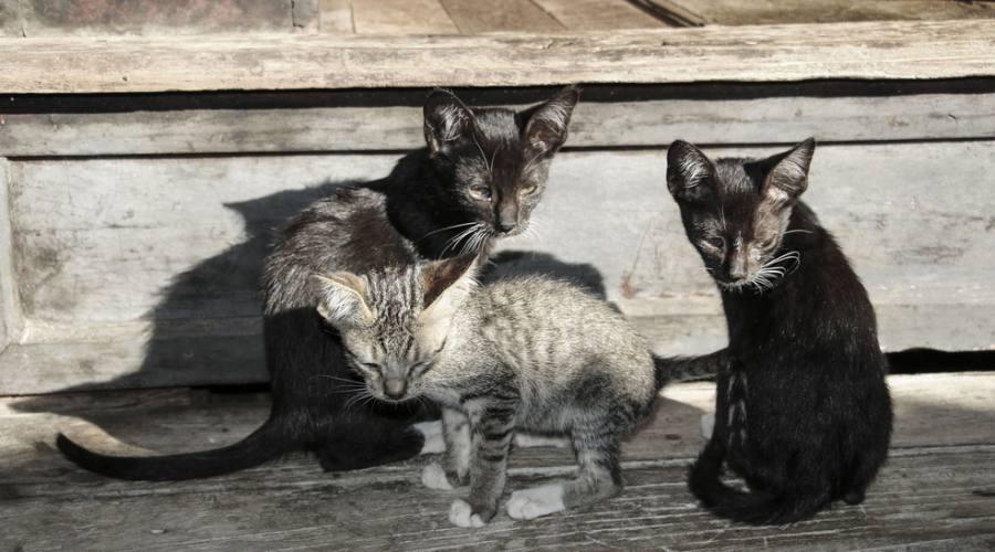 Ngaphechaung - Monastero dei gatti saltanti