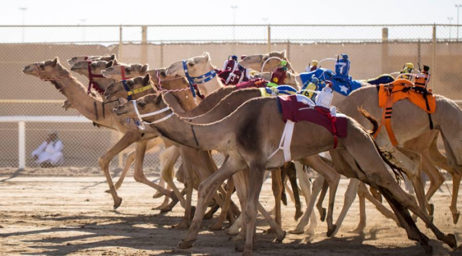 Corse cammelli