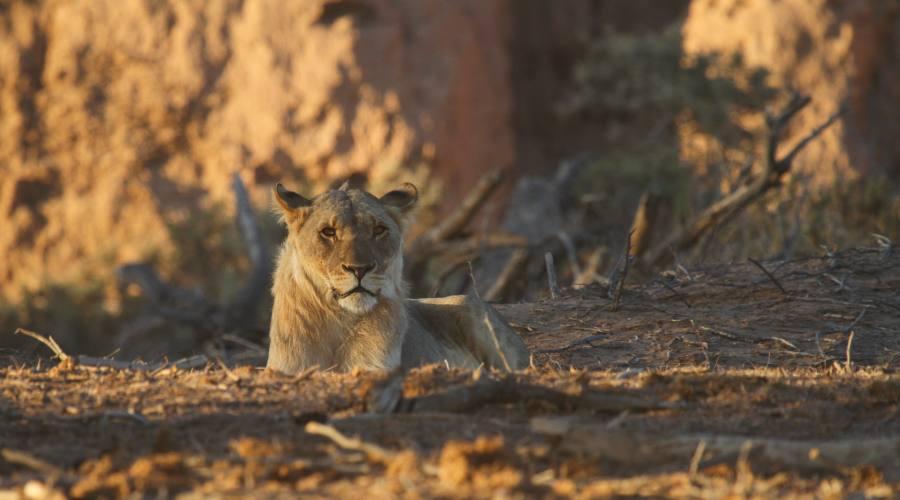 leoni del deserto