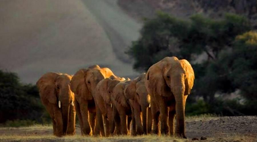 desert elephant in hoanib river
