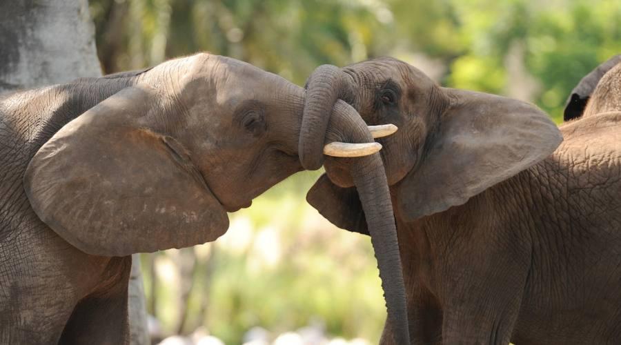 Ammira veri elefanti