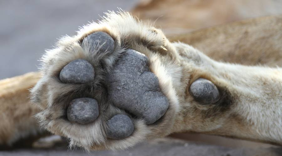lion foot