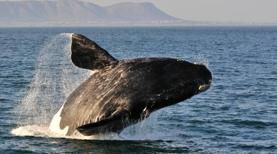 Balene Franca Australis