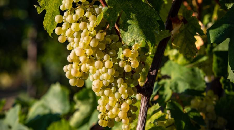 Grappolo uve Prosecco