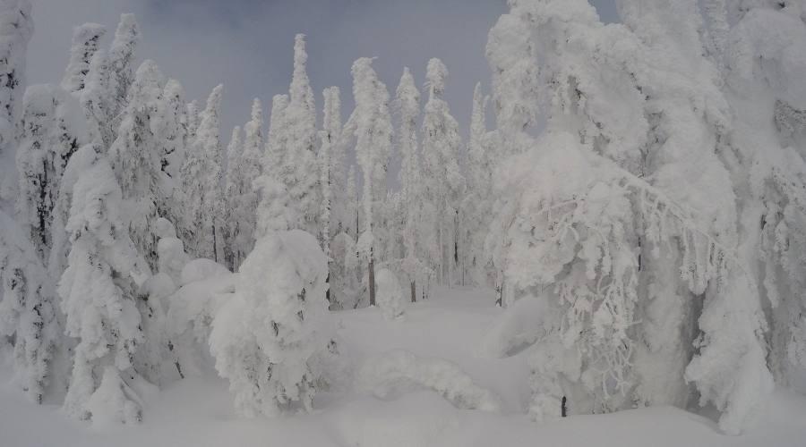 Foresta lappone