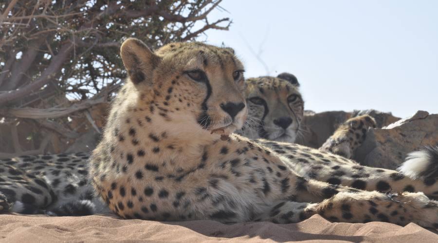 ghepardi