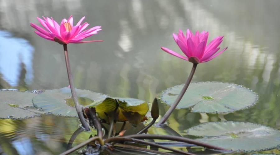 - il fiore tradizionale, Lorus