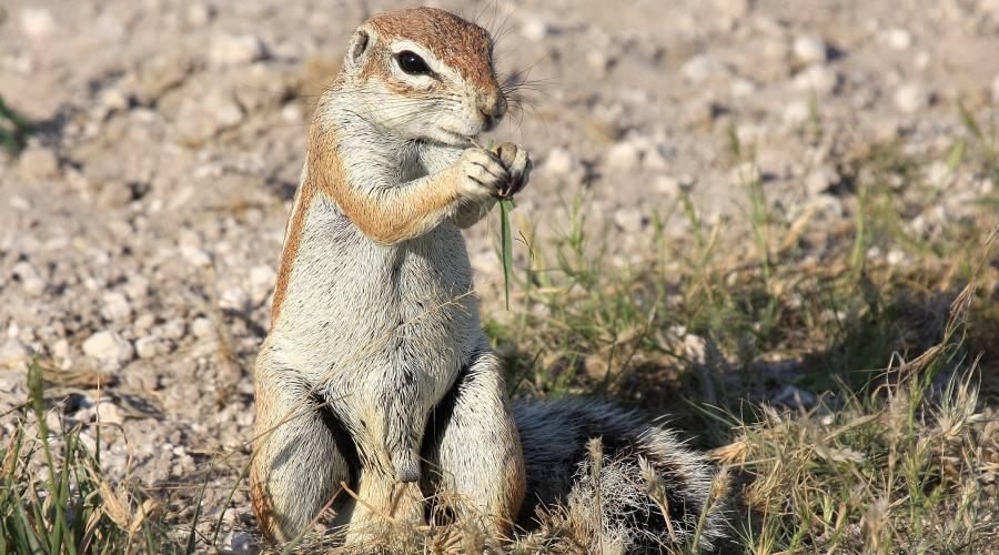 scoiattolo di terra