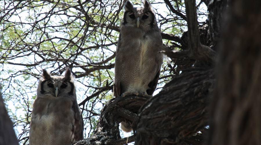 gufi nel parco Chobe
