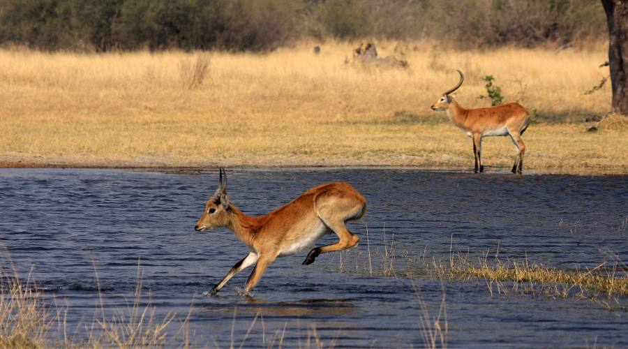 antilopi nel delta dell' Okavango