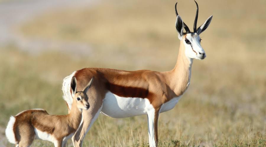springbok con cucciolo
