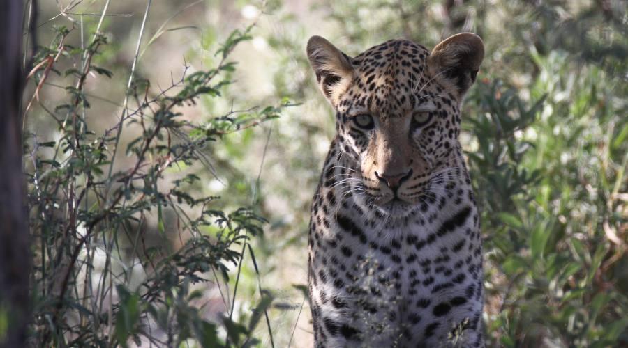leopardo nel Moremi