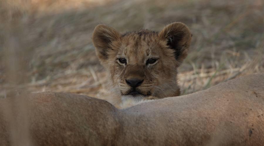 cucciolo di leone nell'area del Kwai River