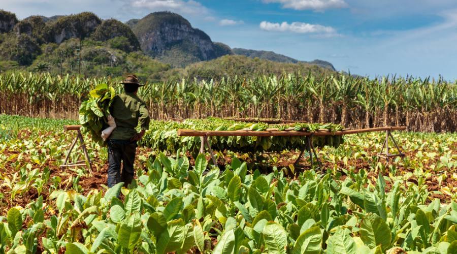 Vinales - piantagione di tabacco