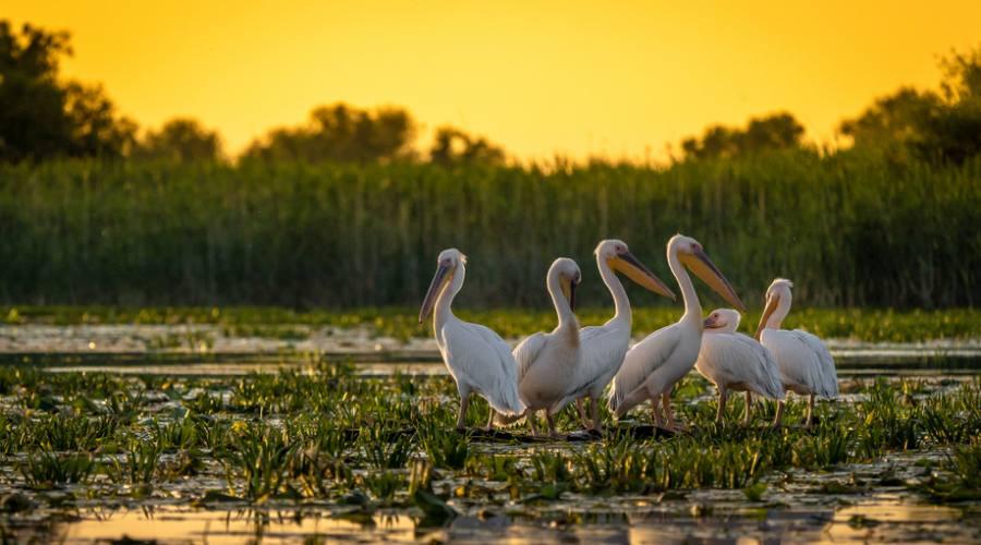 Pelicani nel Delta del Danubio