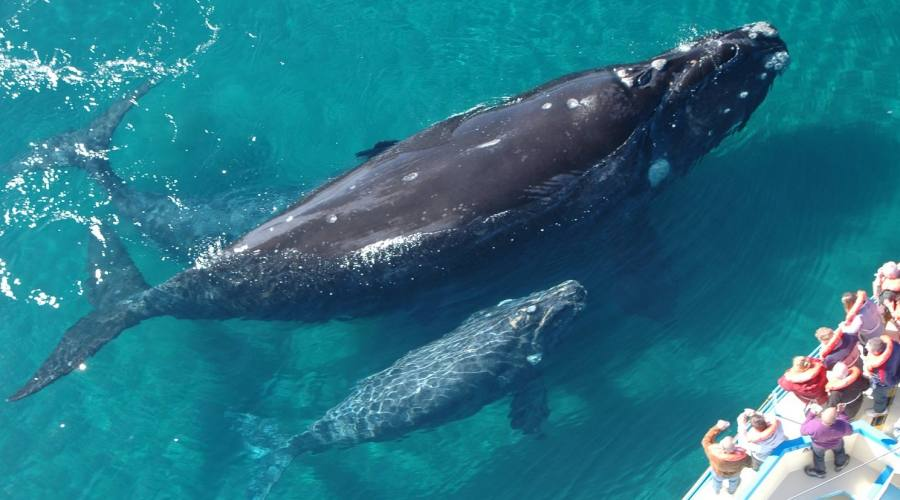 Balene grigie nella baja San Ignacio, Loreto