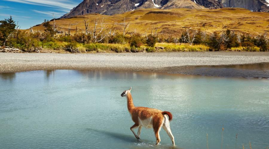 Guanaco nel Parco delle Torri del Paine