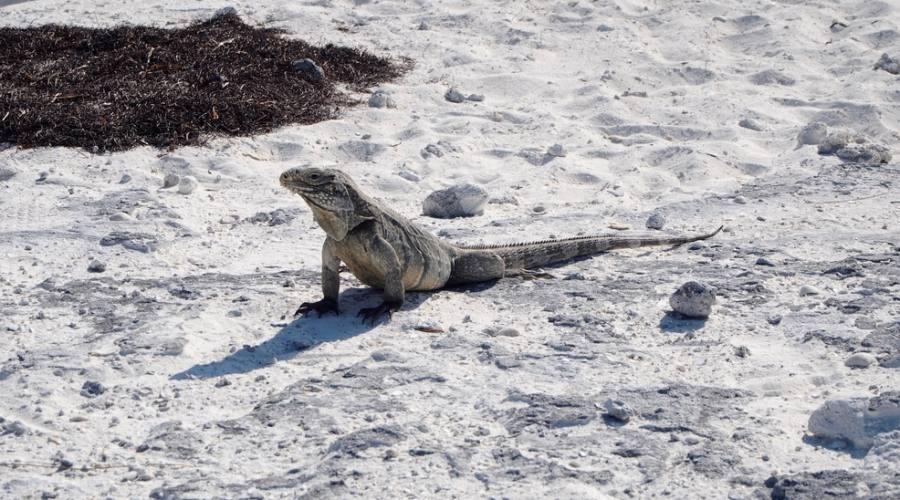 Iguana a Cayo Largo