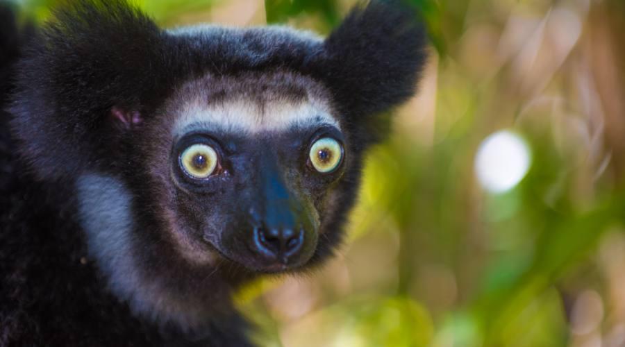 Indri, il più grosso lemure del Madagascar
