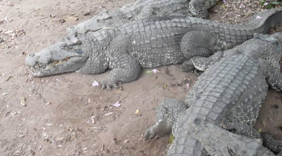 coccodrilli a Guamà