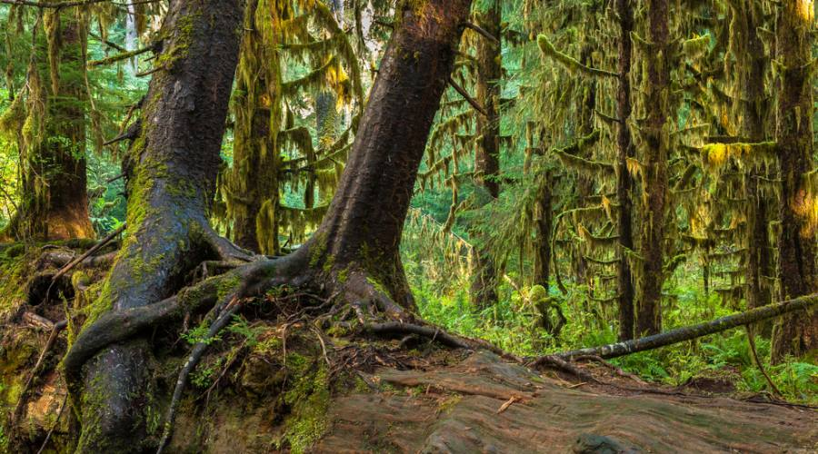 Hall of Mosses in the Hoh Rainforest at Olympic national Park, Washington
