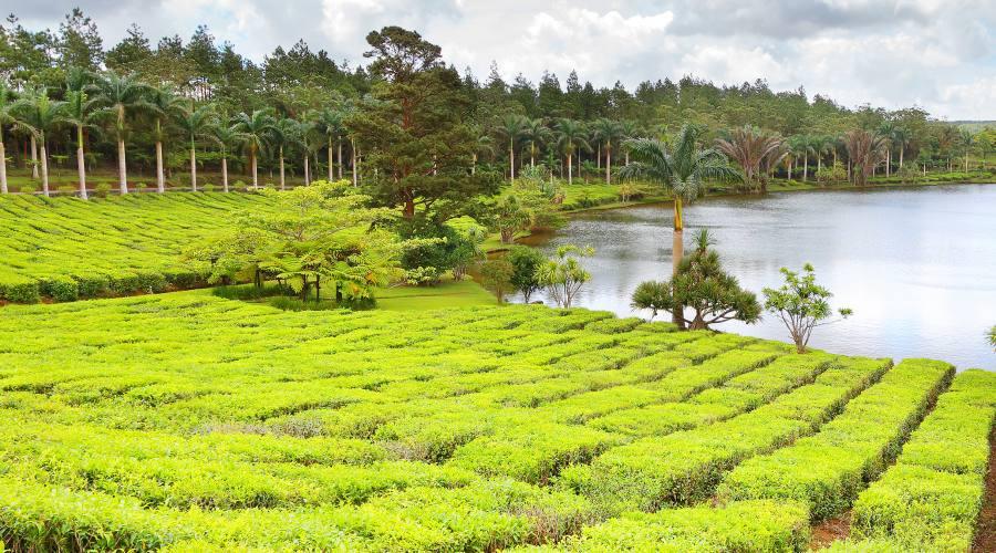Le piantagioni di te' di Mauritius