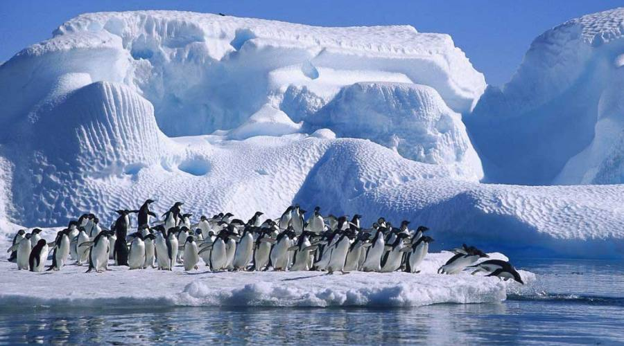 Pinguini Gentoo
