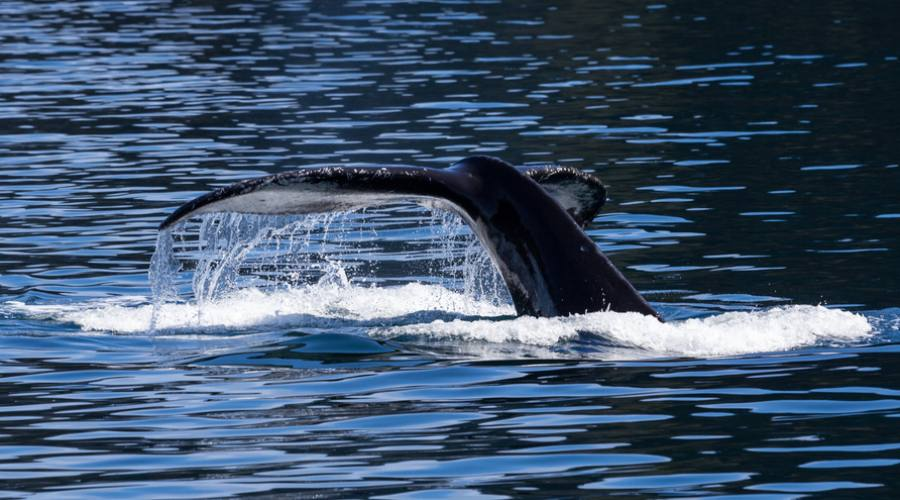 Kenaj Fiords balene