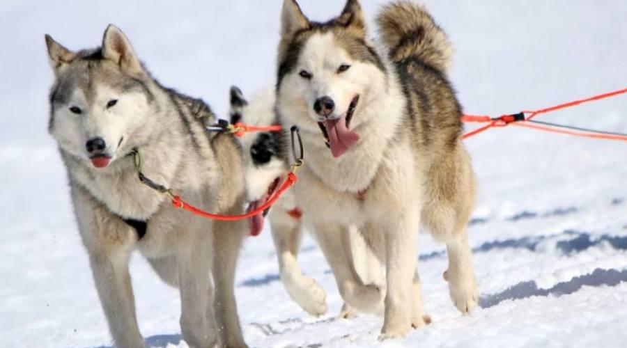 escursione con slitta trainata da cani
