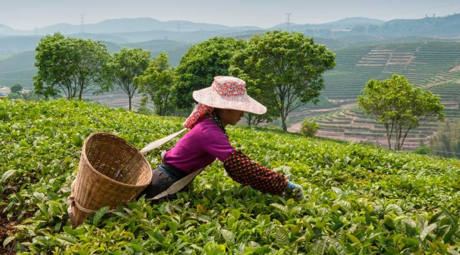 Raccoglitrice di tee