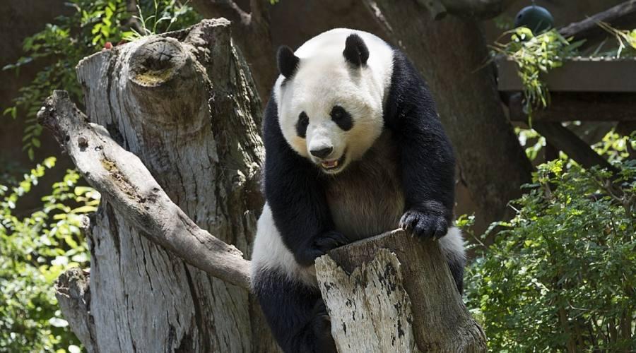Sichuan patria dei Panda gigante