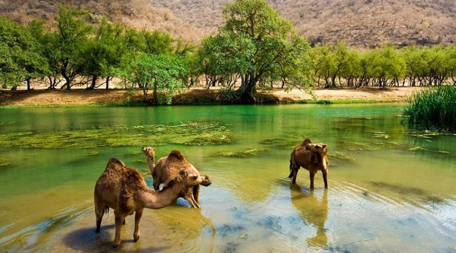 Allevamento di Cammelli nel Salalah