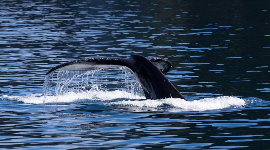 Balene nel S.Lorenzo