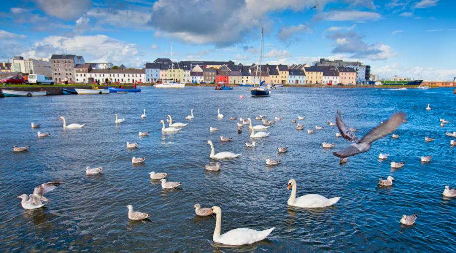 Swans in Galway Bay