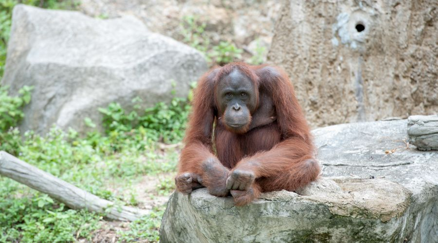 "Centro degli ""Orangutan"""