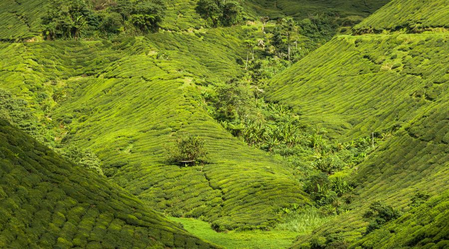 Piantagioni di The a Cameron Highlands
