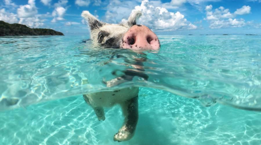 Pig Beach Bahamas