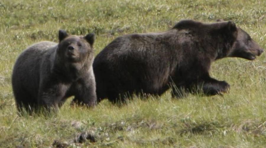 Gli Orsi Canadesi
